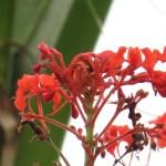 ヒギリ 花の姿