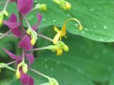 グロッバ・ウィニティ 花の姿