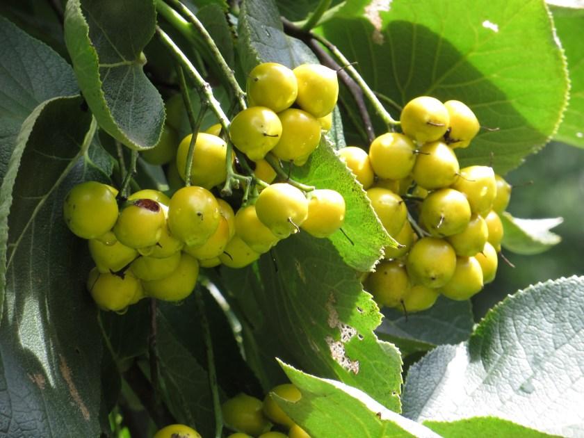 Ehretia dicksonii/ マルバチシャノキ