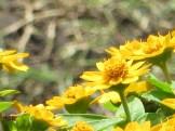 メランポデューム 花のアップ