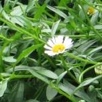 エリゲロン 花のアップ