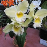カトレア 黄色い花の姿