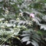 アザミ タイアザミの花の咲いている様子