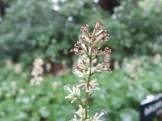 モミジガサ 花のアップ
