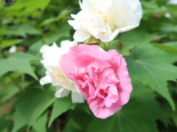 スイフヨウ 赤と白の花の様子