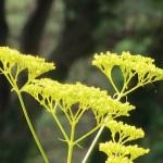 オミナエシ 花の様子