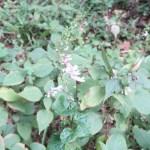 Trumpet spurflower /アキチョウジ