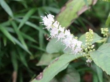 シモバシラ 花の姿