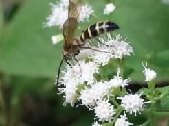マルバフジバカマ 蜂のとまっている花のアップ