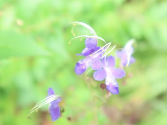 カリガネソウ 花の姿