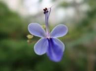 クレロデンドロン・ウガンデンス 花のアップ