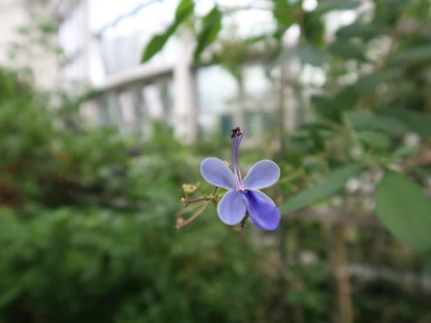 クレロデンドロン・ウガンデンス 花の姿
