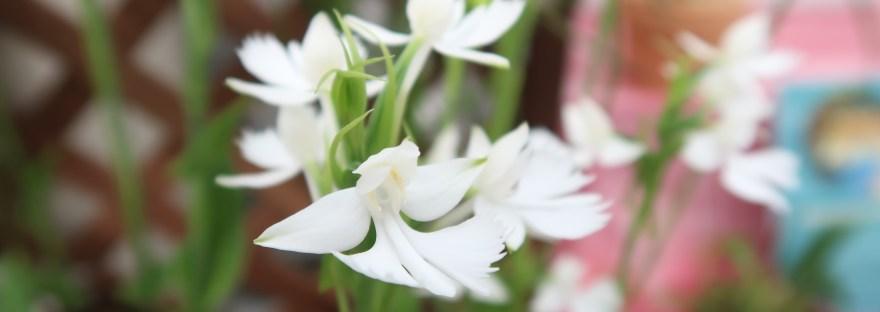 Habenaria dentata/ ダイサギソウ