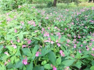 ツリフネソウ 群れて咲く花の様子