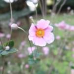 シュウメイギク 花の様子(ピンクの花)
