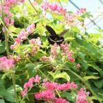 """アサヒカズラにとまるシロオビアゲハ Papilio polytes on """"chain of love"""""""