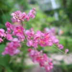 アサヒカズラ 花の姿