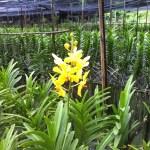 バンダ バンコク郊外の蘭農園