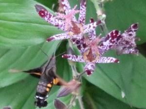ホトトギス 花の蜜を吸うホシホウジャク