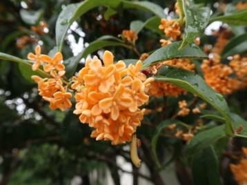 キンモクセイ 花の様子(アップ)
