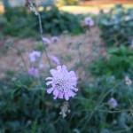 スカビオサ マツムシソウ 花の様子