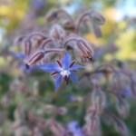 ルリジザ 花の様子
