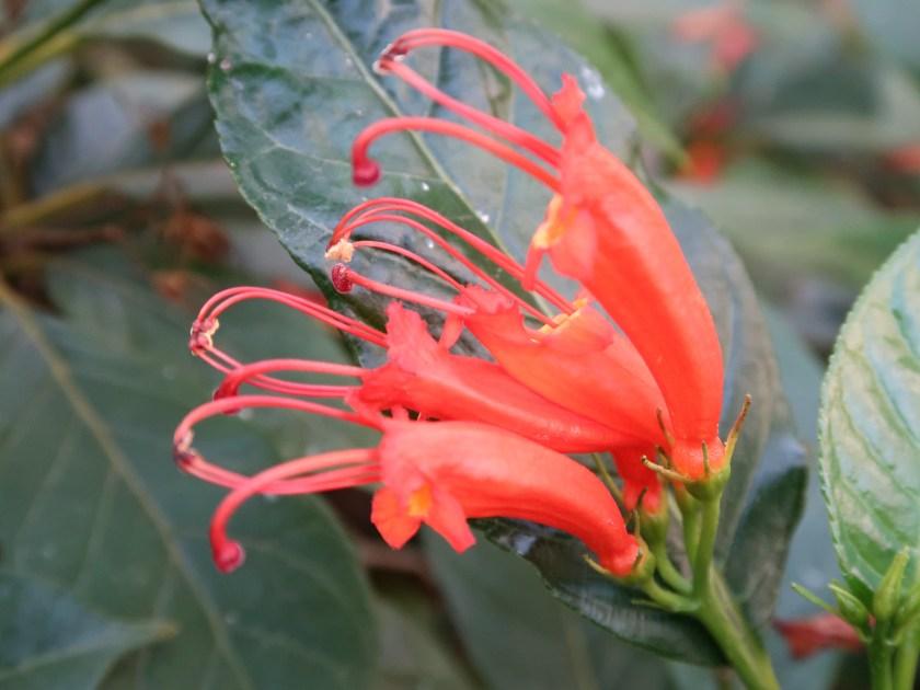 Gesneria ventricosa/ ゲスネリア・ウェントリコサ