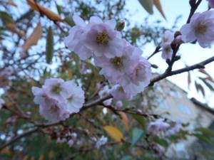 アーコレードの秋咲き? ジュネーブの花のアップ