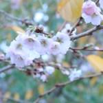 ジュウガツザクラ ジュネーブの花の姿
