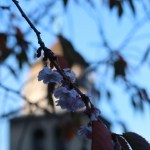 アーコレードの秋咲き? ジュネーブの花の様子