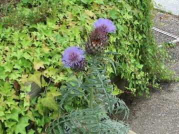 アザミ ノアザミの花