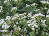 マルバフジバカマ 花の咲いている植物の様子