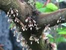 カカオ 花の咲いている様子