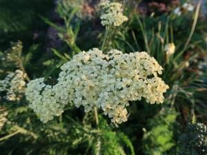 セイヨウノコギリソウ 花のアップ