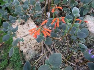シンニンギア・マクロスタキヤ 花の咲いている様子