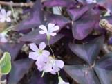 オキザリス ・トライアングラリス 花と葉の様子