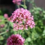 セントランサス 花の姿