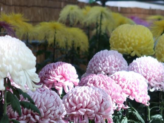 キク 大輪の菊