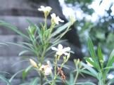 白花のキョウチクトウ