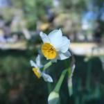 スイセン 花の姿