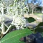 Glossy-leaf paper plant/ ヤツデ