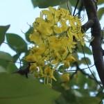 ゴールデンシャワーの花の様子