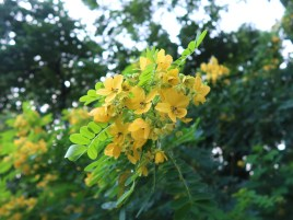 モクセンナ 花の姿