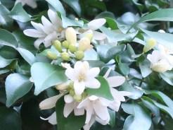 ゲッキツ 花の姿