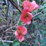 ボケ 早春に咲く花