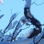 ウメ 雪の下の白梅の花