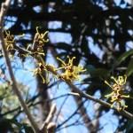 シナマンサク 奇妙な形の花