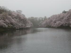 桜満開の井の頭池