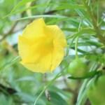 キバナキョウチクトウ 花のアップ