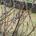 ネコヤナギ 花が群生している様子